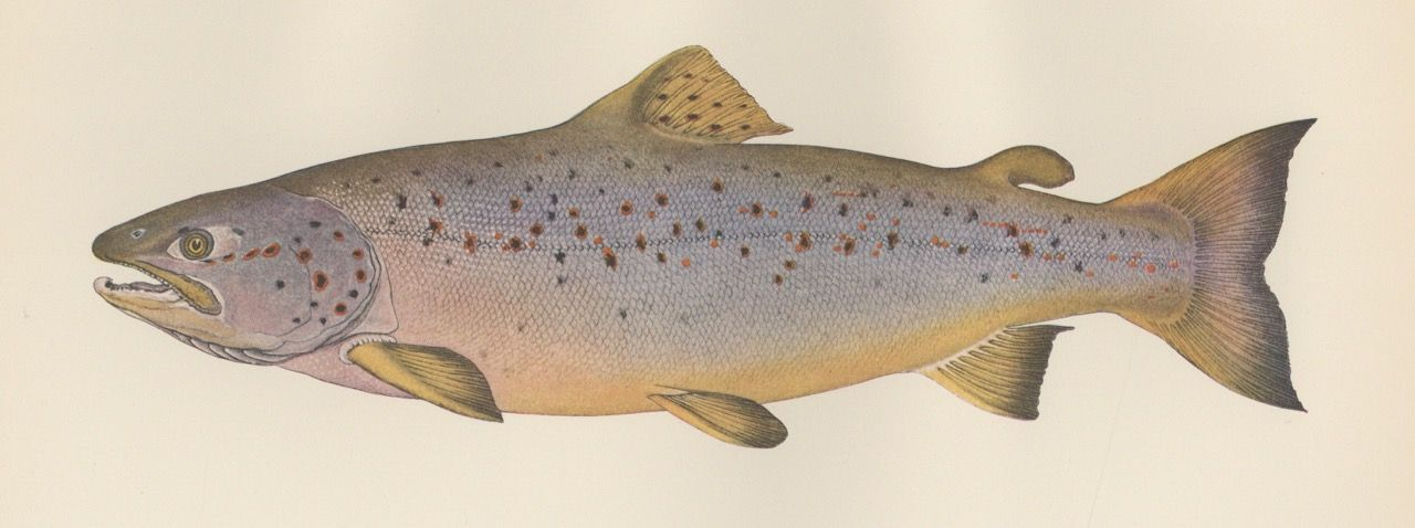 The Fishes of New England. The Salmon Family. Part 2- The Salmon. William Converse Kendall, Walter H. Rich.