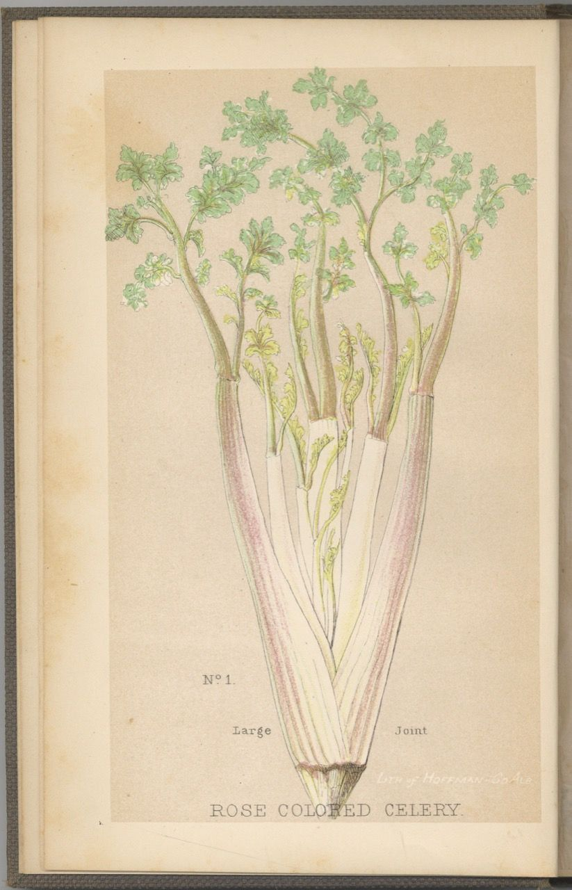 How to Cultivate and Preserve Celery. Theophilus Roessle, ed. Henry S. Olcott, pref, ed Henry S. Olcott.