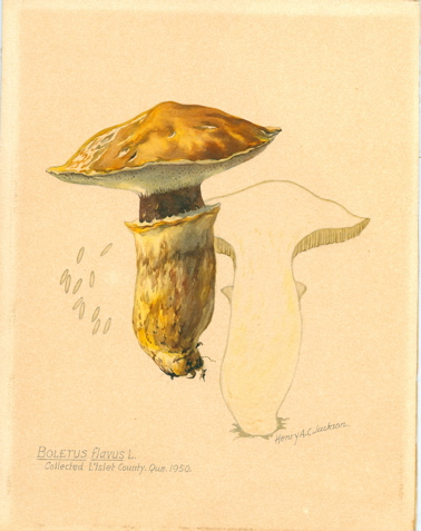 Boletus Flavus L. Collected L'Islet County, Que. 1950. [Original watercolor with convolute of related materials]. Henry A. C. Jackson.